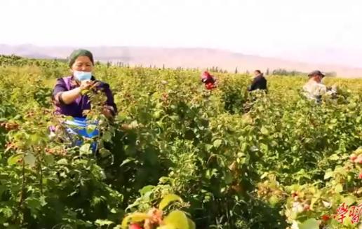 """农民丰收丨新疆额敏:小小红树莓 结出""""致富果"""""""
